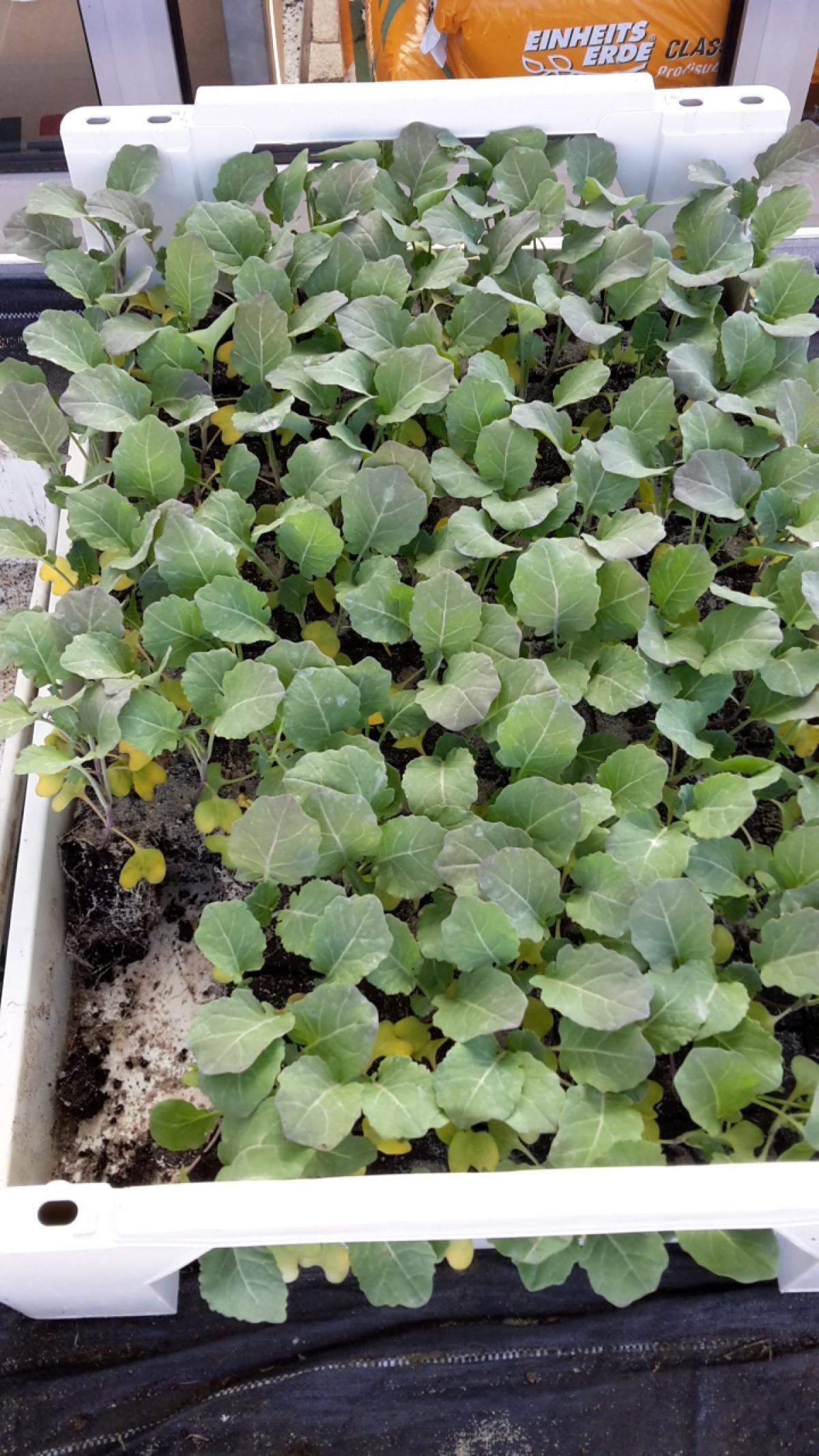 Gemüse Kohlrabi Setzlinge blau